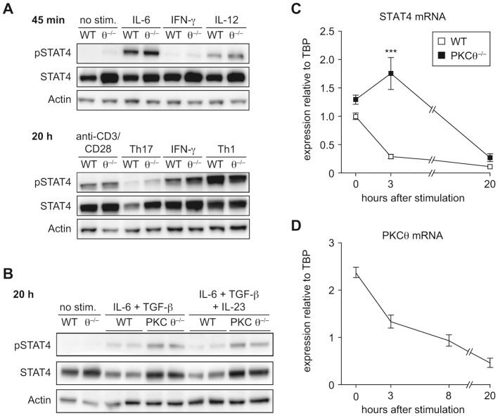 Regulation of STAT4 differs between wild-type and PKCθ −/− CD4 + T cells during the Th17-priming. A) Western blot analysis of phosphorylated (pSTAT4) and total STAT4 protein. Naïve CD4 + T cell were stimulated with indicated cytokines for 45 min (upper panel) or differentiated for 20 h in the presence of anti-CD3/anti-CD28 antibodies into Th17 (IL-6/TGF-β) or Th1 (IL-12) effector cells. One representative experiment is shown. B) Western blot analysis of pSTAT4 and STAT4 in naïve CD4 + T cells stimulated for 20 h under Th17-promoting conditions with and without IL-23. One representative experiment, with two biological replicates of each genotype, is shown. C) Stat4 mRNA expression was analyzed by qRT-PCR measurements (relative expression values normalized to TBP as a reference gene) during the Th17 priming of naïve CD4 + T cells. D) PKCθ mRNA expression was analyzed by qRT-PCR measurements (relative expression values normalized to TBP) during the Th17 priming of naïve CD4 + T cells. Graphs show representative data of one of three independent experiments, each with n = 3 per genotype. All graphs represent mean values and error bars indicate +/− SEM. Statistical significance was assessed by a two-way ANOVA with a Bonferroni post hoc test.