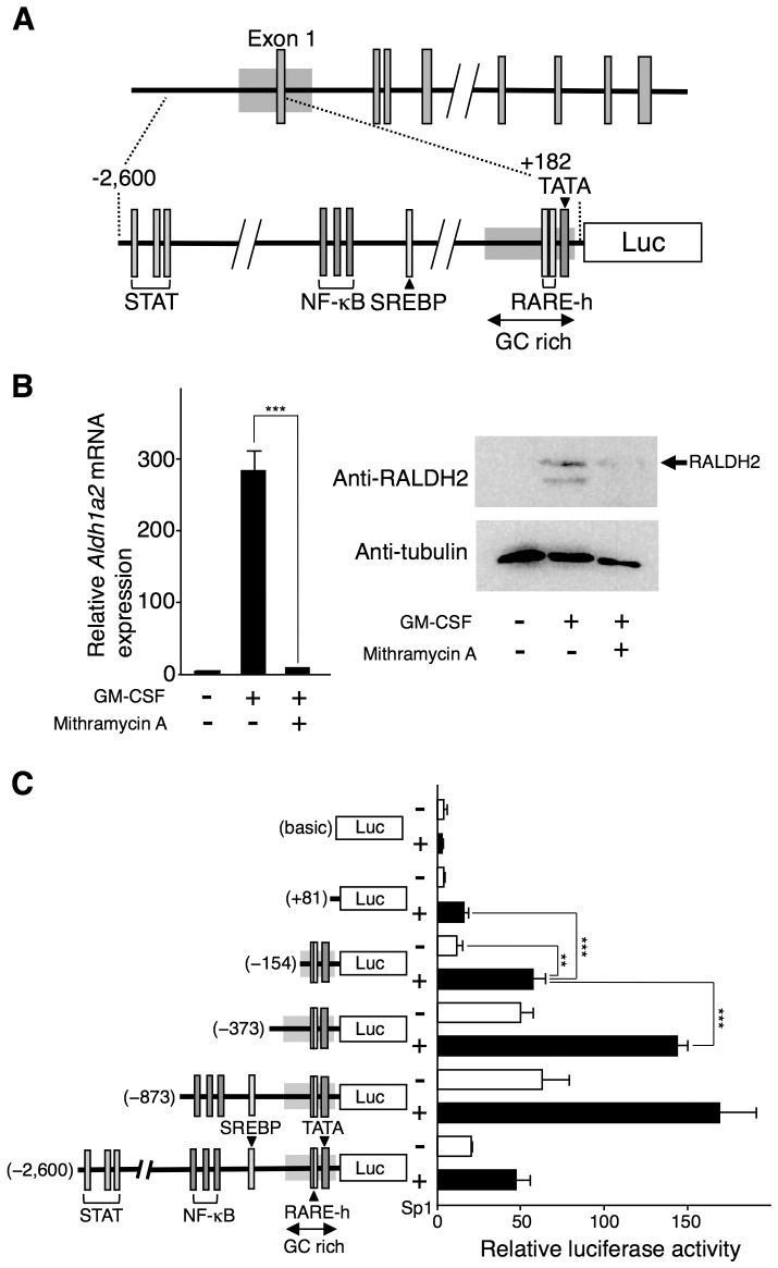 Sp1 participates in the Aldh1a2 expression. ( A ) The genomic organization of the mouse Aldh1a2 gene and its 5′-flanking region is shown. A fragment containing exon 1 and its 5′-flanking region from −2,600 to +182 was inserted into reporter vectors. DNA binding sites (STAT-binding sites, NF-κB binding sites, a SREBP binding site, and putative RARE half-sites (RARE-h)), the TATA box, and the GC-rich region in the fragment are indicated. ( B ) Flt3L-generated BM-DCs were cultured with 10 ng/ml GM-CSF for 16 h in the presence or absence of 1 µM mithramycin A. After the culture, Aldh1a2 mRNA expression was assessed by real-time PCR ( Left panel ), and protein expression of RALDH2 (ALDH1A2) and α-tubulin was analyzed by Western blotting ( Right panel ). Relative mRNA expression levels were calculated by defining the Aldh1a2 mRNA expression level in the cells incubated with medium alone for 16 h was set to 1 ( Left panel ). Data are representative of three ( Left panel ) or two ( Right panel ) independent experiments. ( C ) Serial-deletion fragments derived from the 5′-flanking region of the mouse Aldh1a2 gene were inserted in the reporter vector, pGL3-basic. COS-7 cells were transfected in triplicate with one of the deletion constructs (1.25 µg) or the pGL3-RALDH2 (−2,600) reporter vector (1.25 µg) in combination with or without the 0.5 µg of pCMV-Myc-Sp1 expression vector. One day after the transfection, luciferase activity was measured. Relative promoter activities were calculated by arbitrarily defining the activity of pGL3-basic alone as 1. Data are presented as mean + SD of triplicate cultures. Statistical significance between two groups was determined by the Student's t test (** p