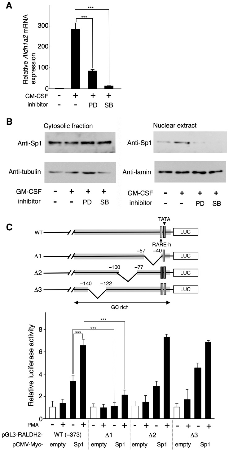 The MEK1-ERK-signaling pathway and the p38 MAPK-signaling pathway are required for the GM-CSF-induced Aldh1a2 expression and nuclear translocation of Sp1 in BM-DCs. ( A ) Flt3L-generated BM-DCs were cultured with or without 10 ng/ml GM-CSF for 16 h in the presence or absence of 50 µM PD98059 (PD) or 25 µM SB203580 (SB). After the culture, Aldh1a2 gene expression was assessed by real-time PCR. The Aldh1a2 mRNA expression level in the cells incubated with medium alone for 16 h was set to 1. The results are shown as the mean + SD of triplicate cultures. Statistical significance was determined by the Student's t test (*** p