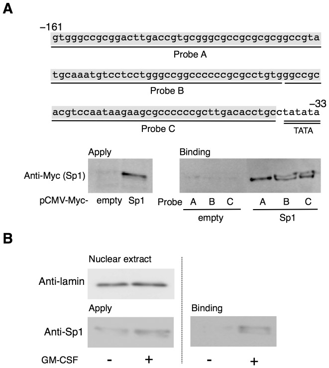 Sp1 binds to the Aldh1a2 promoter region. ( A ) The locations and nucleotide sequences corresponding to Probe A, Probe B, and Probe C in the 5′-flanking region of the mouse Aldh1a2 gene are shown. COS-7 cells were transfected with the 0.5 µg of pCMV-Myc-Sp1 or control empty vector. One day after transfection, cell lysates were analyzed for DNA-binding activity by DNAP assay using the indicated biotinylated DNA probes and anti-Myc Ab. (B) Flt3L-generated BM-DCs were cultured in the presence or absence of 10 ng/ml GM-CSF. After 16 h, nuclear extracts were analyzed for the presence of lamin B1 and Sp1 by Western blotting using anti-lamin B1 and anti-Sp1 Abs ( left panel ), or assessed for DNA binding activity by DNAP assay using biotinylated DNA Probe C and anti-Sp1 Ab ( right panel ). Data are representative of at least three independent experiments.