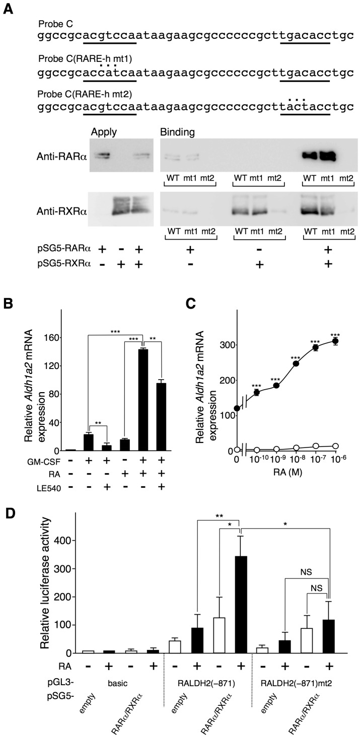 RA enhances GM-CSF-induced Aldh1a2 expression via the RARα/RXRα heterodimer bound to the RARE half-site. ( A ) Localization of the putative RARE half-sites ( underlined ) in Probe C and their mutants, Probe C(RARE-h mt1) and Probe C(RARE-h mt2), are shown. COS-7 cells were transfected with the 0.5 µg of pSG5-RARα and/or pSG5-RXRα. One day after transfection, cell lysates were subjected to DNAP assay using the biotinylated DNA probes. The precipitates were analyzed by Western blotting using anti-RARα( upper panel ) and RXRα ( lower panel ) Abs. ( B ) Flt3L-generated BM-DCs were cultured with 10 ng/ml GM-CSF for 16 h in the presence or absence of 100 nM RA. LE540 (1 µM) was added to the indicated cultures. After the culture, Aldh1a2 mRNA expression was assessed by real-time PCR. The Aldh1a2 mRNA expression level in the cells incubated with medium alone for 16 h was set to 1. ( C ) BM-DCs were cultured with ( closed circle ) or without ( open circle ) 10 ng/ml GM-CSF for 16 h in the presence of graded concentrations of RA. After the culture, Aldh1a2 mRNA expression was assessed by real-time PCR. Relative expression levels were calculated by defining the Aldh1a2 mRNA expression level in the cells incubated with medium alone for 16 h was set to 1. Asterisks indicate a significant difference (*** p