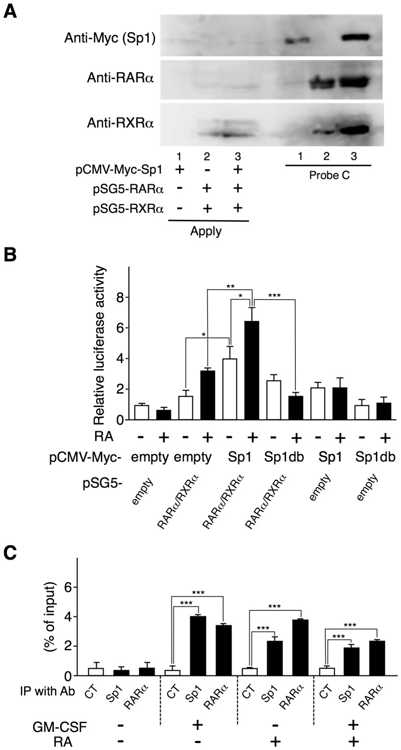 Sp1 and RARα/RXRα enhance each other's binding to the Aldh1a2 promoter and cooperatively enhance its activity. ( A ) COS-7 cells were transfected with the 0.5 µg of pCMV-Myc-Sp1, the combination of pSG5-RARα and pSG5-RXRα, or the three. One day after transfection, cell lysates were subjected to DNAP assay using anti-Myc Ab, anti-RARα Ab, or anti-RXRα Ab, and biotinylated DNA Probe C whose sequence is shown in Figure 3 . ( B ) COS-7 cells were transfected in triplicate with the 1.25 µg of pGL4-RALDH2 (−873) reporter vector and the 0.5 µg of expression vectors, pCMV-Myc-Sp1, pCMV-Myc-Sp1db, pSG5-RARα, and pSG5-RXRα, or control empty vectors. One day after transfection, cells were stimulated with or without 100 nM RA for 16 h. Then luciferase activities were measured. Relative promoter activities were calculated by arbitrarily defining the activity of pGL4-RALDH2 (−873) alone without RA as 1. ( C ) Flt3L-generated BM-DCs were cultured with or without 10 ng/ml GM-CSF or 10 nM RA. These cells were subjected to ChIP assay with anti-Sp1 or anti-RARα Ab or control IgG1. Binding of Sp1 and RARα proteins to the Aldh1a2 promoter site was estimated by real-time PCR. Data in (B and C) are presented as mean + SD of triplicate cultures. Statistical significance between two groups was determined by the Student's t test (* p