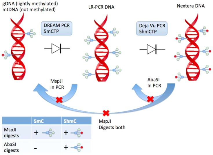 "DREAM <t>PCR</t> and Déjà vu PCR makes use of what we have termed a <t>""DNA</t> diode"" where enzymes that specifically digest 5 th and 6 th bases respectively are leveraged to ensure complex serial amplification steps can be performed contamination free without physical isolation of lab equipment. Both enzymes are heat inactivated and do not show activity post PCR. Any hmeC products cannot contaminate the Nextera reaction setup as AbaSI is present to selectively digest hmeC-DNA while leaving the target meC DNA intact. Likewise, any Nextera DNA contaminating the LR-PCR setup will be digested by MspJI since it that targets both forms of methylation."