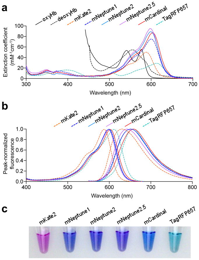 Spectral characteristics of new far-red FPs. (a) Absorbance spectra of oxygenated hemoglobin (oxyHb), deoxygenated hemoglobin (deoxyHb), and monomeric far-red FPs. Myoglobin spectra are similar to hemoglobin spectra 29 . (b) Normalized excitation (left) and emission (right) spectra of monomeric far-red FPs. (c) Transmittance of mKate2, mNeptune1, mNeptune2, mNeptune2.5, mCardinal, and TagRFP657 at 1 mg/mL of purified mature protein. Blue transmission of mCardinal is due to efficient absorbance of green and red light.