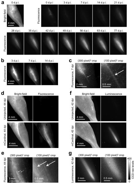 Non-invasive longitudinal visualization of muscle regeneration in living mice. (a) Tibialis anterior (TA) muscles injected with 1 million myoblasts expressing mCardinal, imaged with a fluorescence stereoscope with 620/20 nm excitation. All images are normalized to the same intensity scale. Series is representative of 5 repeats. (b) Images from 3, 7, and 14 days post-injection (d.p.i.) are shown with intensity scaling tighter than in (a) by a factor of 10, 10, and 5 respectively. (c) Magnified view of the muscle at 7 d.p.i., showing an early regenerating fiber (arrow). The image at right is deliberately enlarged until pixelated to show that this fiber appears just a few pixels wide. (d) Fluorescence signal from TA muscles injected with 1000 muscle stem cells expressing mCardinal. (e) Magnified view of the muscle at 44 d.p.i., showing multiple regenerating fibers (arrows). (f) Bioluminescence imaging at 42 d.p.i. of stem cells shown in (d) . A single 8-min bioluminescence image was acquired at the highest possible resolution with no binning. The resulting sampling resolution (21 μm/pixel) is similar to that (15 μm/pixel) of the fluorescence images in (e). (g) Enlargement of the luminescence image in (f) shows the absence of structures resembling myofibers. The right panel is enlarged to show the presence of noise at the level of individual pixels. In a 40-pixel × 30-pixel region containing the brightest pixels, standard deviation was 33 while mean intensity was 290 counts over that of a background region, indicating presence of substantial shot and read noise relative to signal.