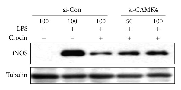 CAMK4 is necessary for crocin-mediated inhibition of iNOS expression in LPS-stimulated macrophages. RAW 264.7 cells were transfected with CAMK4 siRNA or control siRNA and then treated with crocin (500 μ M). After 3 h, cells were incubated with LPS (0.1 μ g/mL) for 24 h. Equal amounts of cytosolic extract were analyzed by Western blotting. Tubulin was used as a loading control.