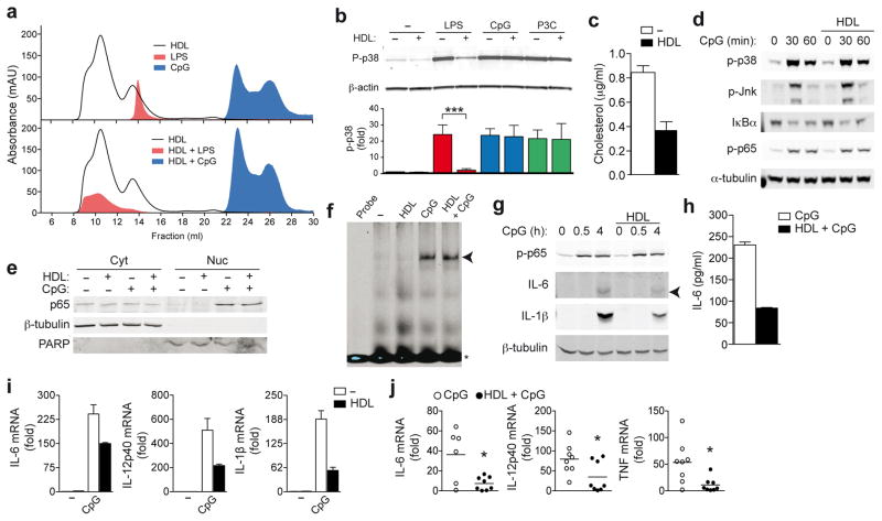 HDL inhibits TLR-induced pro-inflammatory cytokine transcription. a , Bodipy-labeled LPS, Alexa 647-labeled CpG 1826 or HDL were run over an S200 size exclusion column separately ( a , upper panel) or together ( a , lower panel) and absorbance profiles examined. b , LPS (200 ng/ml), CpG (100 nM) or P3C (50 ng/ml) were incubated with HDL (2 mg/ml), and BMDMs stimulated for 30 min. Whole cell lysates were analyzed for p38 phosphorylation (p-p38) relative to total β-actin. c , d BMDMs were pre-treated with HDL (2 mg/ml) for 6 h before stimulation with CpG (100 nM) for indicated times: total cellular cholesterol ( c ) and phosphorylation of p38, JNK, NF-κB p65 and IκBα degradation ( d ). e , f BMDMs were pre-treated with HDL as before, and stimulated with CpG (100 nM) for 30 min: subcellular localization of NF-κB p65 (β-tubulin: cytoplasmic loading control; poly ADP ribose polymerase (PARP): nuclear loading control) ( e ) and NF-κB binding to a target probe as analysed by EMSA ( f ). g , h BMDMs were pre-treated with HDL as before: CpG-induced phospho-NF-κB p65 and intracellular IL-6 and IL-1β were measured in whole cell extracts, ( g ); secreted IL-6 measured by ELISA ( h ). mRNA expression of BMDMs pre-treated with HDL as before, and stimulated with 100 nM CpG for 4 h ( i ). j , Liver mRNA profile 1 h after C57BL/6 mice were injected with CpG following 6 h HDL pre-treatment ( n =8). a , Data is representative of at least three independent experiments. b , Representative immunoblot and densitometric analysis combined from three independent experiments (mean ±S.E.M, each ligand; no HDL versus HDL incubation ***p
