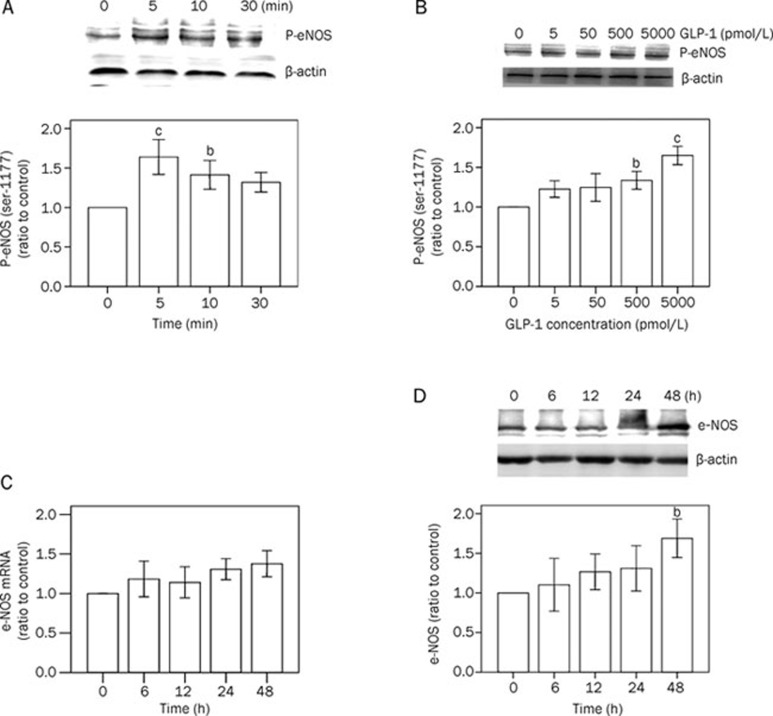 Effects of GLP-1 on eNOS Ser-1177 phosphorylation, mRNA and protein expression in HUVECs. (A) Cells were incubated in the presence of GLP-1 (5000 pmol/L) for 0 (control), 5, 10, and 30 min to investigate the time course of the effect on eNOS phosphorylation. (B) Cells were incubated in the absence (control) or presence of GLP-1 (5–5000 pmol/L) for 5 min to investigate the dose-dependence of the effect. eNOS phosphorylated at ser-1177 (P-eNOS 1177) was examined by Western blot analysis. Representative experiments are both shown in the upper parts. Band intensities, after normalization to β-actin, are expressed as ratios of control. Mean±SD. n =4. b P
