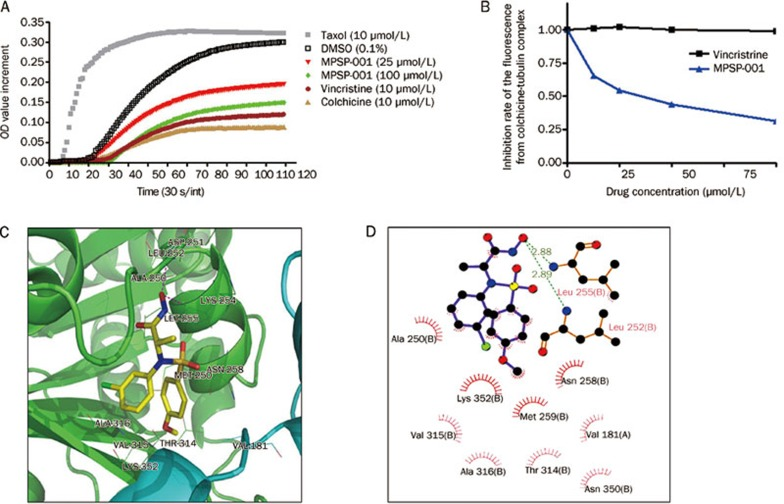 Effects of MPSP-001 on in vitro tubulin polymerization and competitive binding of colchicine site. (A) Effects of MPSP-001 (25 μmol/L, 100 μmol/L), Taxol (10 μmol/L), colchicines (10 μmol/L) and vincristine (10 μmol/L) on bovine brain tubulin polymerization were measured turbidimetrically. Changes in absorbance at 340 nm (A340) were measured and plotted as a function of time. (B) MPSP-001 binding to tubulin directly and inhibiting tubulin polymerization. Tubulin was co-incubated with indicated concentrations of VCR and MPSP-001 for 1 h, then 5 μmol/L colchicine was added. The fluorescence was measured by spectrofluorometer. All assays were repeated twice and representative data were shown. (C) Interactions between α,β-tubulin and compound MPSP-001 in the docking complex in 3D pattern. Tubulin was shown in cartoon style with the β and α subunit colored in green and cyan, respectively; compound MPSP-001 was shown in stick style; the residues within 4 Å around compound MPSP-001 were shown in line style. Magenta dashed lines denoted the potential hydrogen bonds. (D) 2D representation were drawn using LIGPLOT. Dashed lines represented hydrogen bonds and spiked residues form hydrophobic contacts with the compound.
