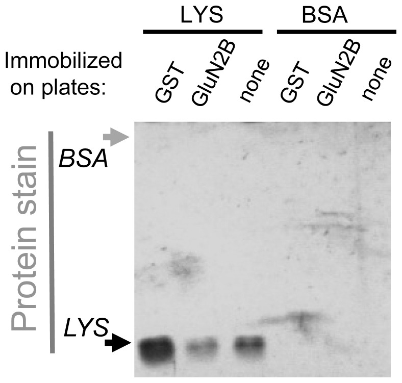 Lysozyme but not BSA binds to the GST immobilization scaffold. 100 mg/ml Lysozyme (6.8 mM) or BSA (1.5 mM) were tested for binding to immuno-immobilized GST-GluN2B-C under the same conditions as in Figure 1A . Samples were eluted and subjected to SDS-PAGE, after which the gel was fixed and stained for total protein (silver stain). Binding was detected for lysozyme but not BSA. Lysozyme binding was detected also to immobilized GST (without GluN2B fusion) and to empty wells, indicating non-specific binding to the immobilization scaffold.
