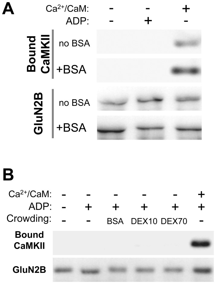 Ca 2+ /CaM stimulation is still required for CaMKII to GluN2B binding. A , CaMKIIα (40 nM subunits) was incubated with immuno-immobilized GST-GluN2B-C as in Figure 1A , but in the presence or absence of Ca 2+ /CaM (1 mM/1 µM), ADP (100 µM), or BSA (100 mg/ml). Bound CaMKII was eluted and detected by Western-analysis. BSA and ADP alone were insufficient to induce CaMKII to GluN2B binding. GST-GluN2B detection is shown as a loading control. Representative images are from the same experiment and Western-blots. B , CaMKIIα (40 nM subunits) was incubated with immuno-immobilized GST-GluN2B-C as in panel A. Different crowding agents, BSA, dextran-10 (DEX10) and dextran-70 (DEX70) (all at 100 mg/ml) in the presence of ADP (100 µM) were not sufficient to induce detectable CaMKII binding to GluN2B without CaMKII stimulation.