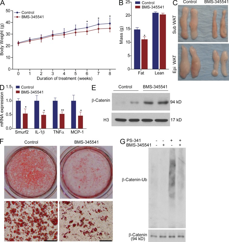 Chronic treatment of mice with IKKβ inhibitor ameliorates diet-induced obesity. (A and B) 8-wk-old male C57BL/6 mice were fed a WD and treated with vehicle or 10 mg/kg body weight of BMS-345541 by daily oral gavage for 8 wk. Body weight (A) was measured weekly and fat and lean mass (B) were measured at the end of feeding study ( n = 11–12 mice). (C) Representative photographs of subcutaneous (Sub) and epididymal (Epi) WAT. (D) Expression of Smurf2 and other NF-κB target genes in WAT were analyzed by QPCR ( n = 4 mice). (E) Western blot analysis of nuclear β-catenin levels in WAT of control or BMS-345541-treated mice. Nuclear proteins were probed with anti-Histone H3 antibodies an internal control. (F) Oil red O staining of adipose SV cells from control or BMS-345541–treated mice induced by differentiation medium. (G) Adipose SV cells isolated from control or BMS-345541-treated mice were incubated with vehicle or 100 nM PS-341 as indicated for 4 h. β-catenin was immunoprecipitated with anti–β-catenin antibodies and then probed with antiubiquitin monoclonal antibodies. The whole cell lysates were probed with anti–β-catenin antibodies as an internal control. Similar results were obtained from at least three independent experiments. All data are mean ± SD. *, P