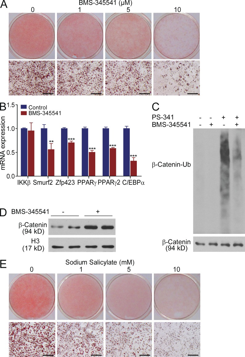 Pharmacological inhibition of IKK β inhibits adipocyte differentiation. (A) Oil red O staining of 3T3-L1 cells induced by differentiation medium or medium containing IKKβ inhibitor BMS-345541 at indicated concentrations. (B) Analysis of IKKβ, Smurf2, and adipogenic genes in 3T3-L1 cells treated with control or 10 µM BMS-345541 for 48 h by QPCR ( n = 3–5). (C) 3T3-L1 cells were treated with vehicle control or 10 µM BMS-345541 for 48 h before incubating with vehicle control or 100 nM PS-341 for 4 h. β-catenin was immunoprecipitated with anti–β-catenin antibodies, and then probed with antiubiquitin monoclonal antibodies. The whole-cell lysates were probed with anti–β-catenin antibodies as an internal control. (D) Western blot analysis of nuclear β-catenin levels in 3T3-L1 cells treated with vehicle control or 10 µM BMS-345541 for 48 h. Nuclear proteins were probed with anti-Histone H3 antibodies as an internal control. (E) Oil red O staining of 3T3-L1 cells induced by differentiation medium or medium containing IKKβ inhibitor sodium salicylate at indicated concentrations. Similar results were obtained from at least three independent experiments. All data are mean ± SD. **, P