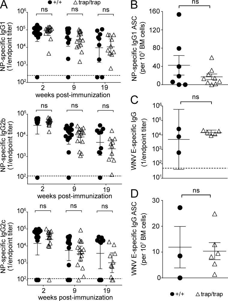Immunization with TLR ligand–containing adjuvants bypasses the requirement for ZBTB20. (A) ELISA measurements of serum NP-specific IgG1, IgG2c, and IgG2b titers from Zbtb20 +/+ or Zbtb20 trap/trap fetal liver chimeras at 2, 9, and 19 wk after immunization with TLR ligand–adjuvanted NP-CGG (error bars depict geometric means ± 95% confidence interval). Data are cumulative from two experiments with 9–14 Zbtb20 +/+ and 10–15 Zbtb20 trap/trap chimeric mice per time point. Statistical significance was determined by the Mann–Whitney test. ns, not significant (P > 0.05). (B) ELISPOT analysis of NP-specific IgG1 BM ASCs from Zbtb20 +/+ ( n = 7) or Zbtb20 trap/trap ( n = 9) fetal liver chimeras at 20 wk after immunization (mean values ± SEM). Statistical significance was determined with an unpaired Student's two-tailed t test. ns, not significant (P > 0.05). Data are cumulative from two independent experiments. (C) ELISA measurements of serum WNV-specific IgG titers from Zbtb20 +/+ ( n = 3) or Zbtb20 trap/trap ( n = 5) fetal liver chimeras at 21 wk after vaccination (error bars depict geometric means ± 95% confidence interval). Statistical significance was determined by the Mann–Whitney test. ns, not significant (P > 0.05). (D) ELISPOT assays of WNV-specific ASCs. WNV E protein–specific IgG-secreting cells in the BM from Zbtb20 +/+ ( n = 3) or Zbtb20 trap/trap ( n = 6) chimeric mice were quantified at 26 wk after vaccination. Mean values ± SEM are shown. Statistical significance was determined with an unpaired Student's two-tailed t test. (C and D) Data are representative of two experiments, each with three to six mice per genotype.