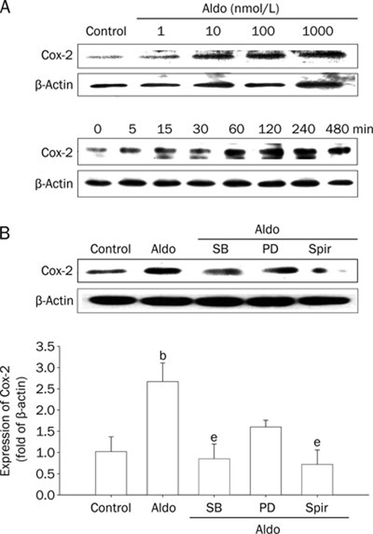 The expression of cyclooxyenase 2 (Cox-2) in rat vascular smooth muscle cells (VSMCs) induced by aldosterone (Aldo). (A) Upper panel, the concentration-dependent increase in Cox-2 expression induced by Aldo for 4 h. Lower panel, the time-related increase in Cox-2 expression induced by Aldo (0.1 μmol/L) for the indicated times. (B) The effects of different inhibitors on Cox-2 expression induced by Aldo. The cells were pretreated with SB203580 (SB, 20 μmol/L), PD98059 (PD, 50 μmol/L), and spironolactone (Spir, 50 μmol/L) for 1 h, then stimulated by Aldo (0.1 μmol/L) for 4 h. The cell lysates were analysed by Western blotting with specific antibodies. Mean±SD. n =3. b P