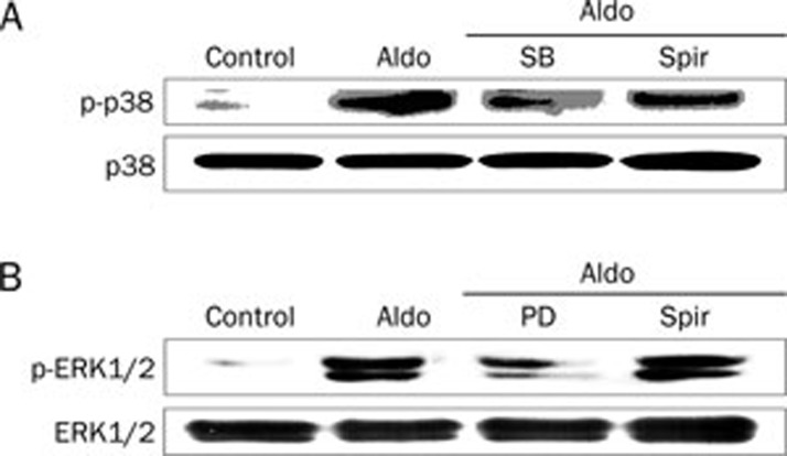 Aldosterone (Aldo) stimulates the phosphorylation of p38MAPK (A) and ERK1/2 (B) in VSMCs. The cells were pretreated with SB203580 (SB, 20 μmol/L), PD98059 (PD, 50 μmol/L), and spironolactone (Spir, 50 μmol/L) for 1 h, then stimulated with Aldo (0.1 μmol/L) for 30 min. The cell lysates were analysed by Western blotting with specific antibodies.