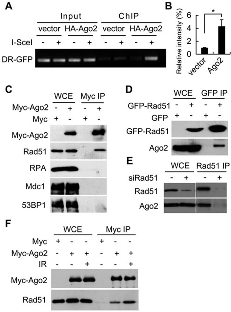 Ago2 accumulates at DSBs and interacts with Rad51. (A) U2OS/DR-GFP cells were transfected with empty vector or HA-Ago2 constructs, followed by transfection with I- Sce I or empty vector control. ChIP assays were performed using HA antibody. Bound DNA was analyzed by PCR. (B) Quantification of ChIP data shown in A . The quantification is based on three independent experiments. Data are represented as mean ± SEM. (C) Myc-Ago2 or empty vector were overexpressed in 293T cells by transfection as indicated and the lysates were subjected to immunoprecipitation using Myc-coupled beads. Immunoprecipitates (IP) and whole-cell extracts (WCE) were immunoblotted with the indicated antibodies. (D) GFP-Rad51 was overexpressed in 293T cells by transfection as indicated and the lysates were subjected to immunoprecipitation using GFP beads. Immunoprecipitates and WCE were immunoblotted with the indicated antibodies. (E) 293T cells were transfected with control or Rad51 siRNAs, lysed and the lysates were subjected to Rad51 immunoprecipitation. Immunoprecipitates and WCE were immunoblotted with the indicated antibodies. (F) Two days post transfection with the indicated DNA constructs, 293T cells were treated with IR (5 Gy) and left to recover for 1 h. Cells were then lysed and the lysates were subjected to immunoprecipitation using Myc-beads. Immunoprecipitates and WCE were immunoblotted with the indicated antibodies ( * P