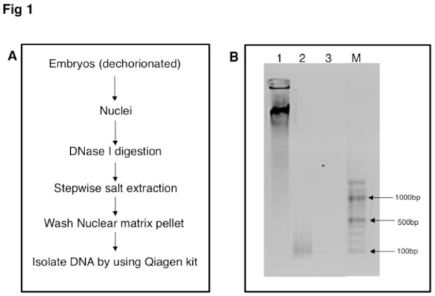 A: Flow chart of steps used for the isolation of MAR DNA from Drosophila melanogaster embryos. B: Ethidium bromide stained 1% agarose gel showing size distribution of MAR DNA from D. melanogaster embryos. Genomic DNA (lane 1); MAR DNA (lane 2); Isolated MAR DNA digested with DNase I (lane 3); 100 bp DNA marker (Lane M). High quality figures are available online.