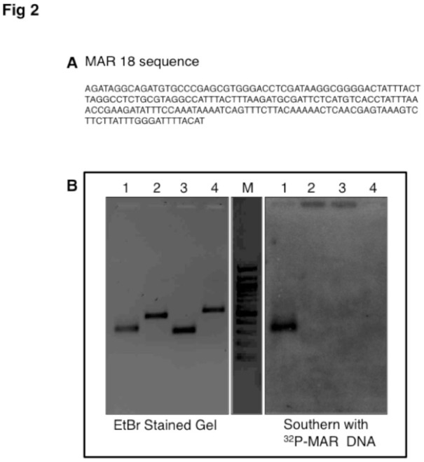 A: Sequence of MAR18 ( roo transposon) clone found in MAR of Drosophila melanogaster . B: Southern blot analysis of PCR amplified roo LTR and control regions. Left panel shows the resolution of PCR amplicons on a 1.2% agarose gel. roo LTR (lane 1), Wnt4 control (lane 2), Arc control (lane 3), Wnt6 control (lane 4), 100 bp ladder (lane M). The right panel shows Southern hybridization of the gel with 32P-labelled MAR DNA. High quality figures are available online.