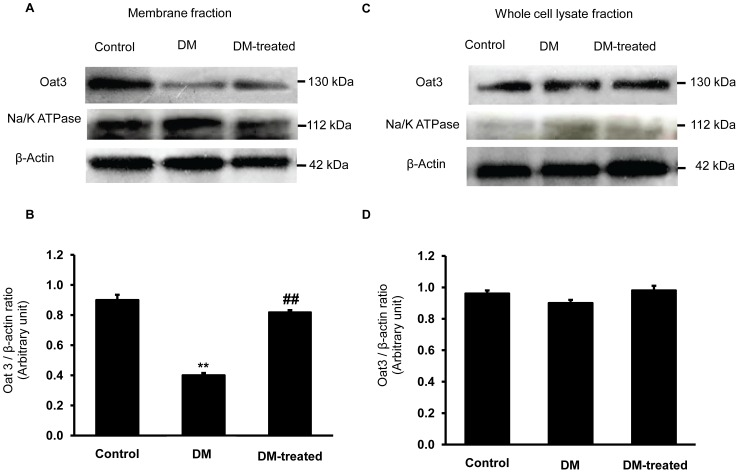 Effect of diabetes on Oat3 expression in the renal cortex. (A) and (C); Western blot analysis for Oat3 in the membrane and whole cell lysate fractions of renal cortical tissues in control, diabetic (DM) and diabetic with insulin-treated (DM-treated) rats, respectively. (B) and (D); The signal intensity of Oat3 in membrane and whole cell lysate fractions normalized to β-actin, respectively. Na + -K + -ATPase and β-actin expressions were used as a membrane marker and loading control, respectively. Bar graphs indicate means ± SEM from five independent experiments. ** p