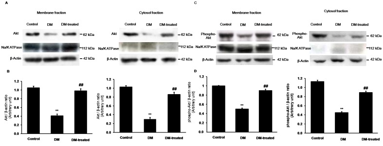 Effects of diabetes on Akt and phospho-Akt expressions in the renal cortex. (A) and (C); Western blot analysis for Akt and phospho-Akt in the membrane and cytosolic fractions of renal cortical tissues in control, diabetic (DM) and diabetic with insulin-treated (DM-treated) rats, respectively. (B) and (D); The signal intensity of Akt and phospho-Akt in the membrane and cytosolic fractions normalized to β - actin, respectively. Na + -K + -ATPase and β-actin expressions were used as a membrane marker and loading control, respectively. Bar graphs indicate means ± SEM from five independent experiments. ** p