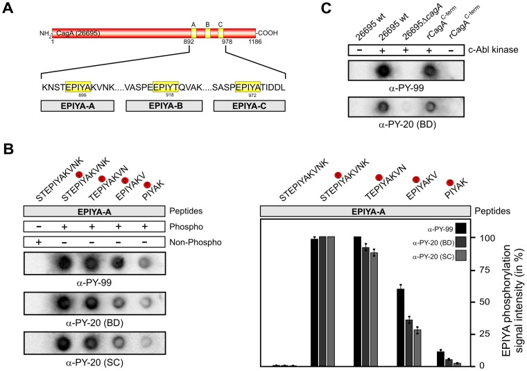 Short EPIYA-phosphopeptides of H. pylori CagA are sufficient for detection by α-phosphotyrosine antibodies. ( A ) Typical Western CagA proteins of H. pylori such as that of strain 26695 [76] contain the EPIYA-A, EPIYA-B, and EPIYA-C segments as indicated. These motifs represent tyrosine phosphorylation sites, which can be phosphorylated by c-Abl and c-Src host kinases. ( B ) The indicated phospho- and non-phospho peptides of the EPIYA-A motif were synthesized and immobilized on <t>PVDF</t> membranes using a Dotblot apparatus. All Dotblots were probed with the indicated commercial phosphotyrosine antibodies and exposed as described in the Material Methods section. Quantified spot intensities of the Dotblots from three independent experiments are shown to the right. Signal intensities were measured densitometrically with the Lumi-Imager F1 and revealed the percentage of phosphorylation signal per sample. The strongest spot on every Dotblot was set at 100% for each of the different α-phosphotyrosine antibodies as indicated. The results show that 11-mer and 9-mer phosphopeptides are sufficient for strong recognition by the antibodies. ( C ) Control Dotblot analyses used products of in vitro kinase reactions of c-Abl with either bacterial lysates (from H. pylori wild-type strain 26695 and isogenic Δ cagA mutant) or a purified recombinant CagA C-terminal fragment. Phosphorylated CagA proteins can be also detected by this Dotblot method using seven phosphotyrosine antibodies ( Table 1 ), while the non-phosphorylated CagA forms cannot.