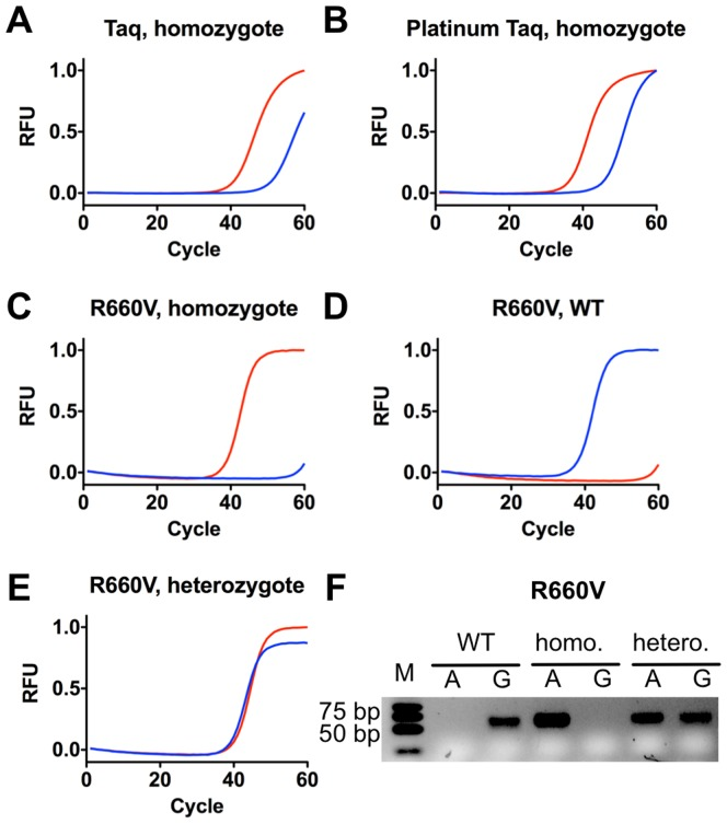 ASA assay of Factor II prothrombin, Human gDNA (WHO International Standards) with R660V mutant. Allele-specific primers A and G result in a end match or mismatch depending on the chosen template. In red primer A is shown, in blue primer G. RFU = relative fluorescence units. A) ASA real time PCR curves of Factor II homogygote (genotype A/A) using Taq DNA polymerase, B) Platinum Taq DNA polymerase, or C) mutant R660V. D) ASA real time PCR curves of Factor II wild-type (genotype G/G), E) ASA real time PCR curves of Factor II heterozygote (genotype G/A), F) Agarose gel electrophoresis analysis of ASA PCR. M = Marker, A = Primer A, G = Primer G, wild-type (WT) indicates the used wild-type template, homo, the homozygote and hetero, the heterozygote template.