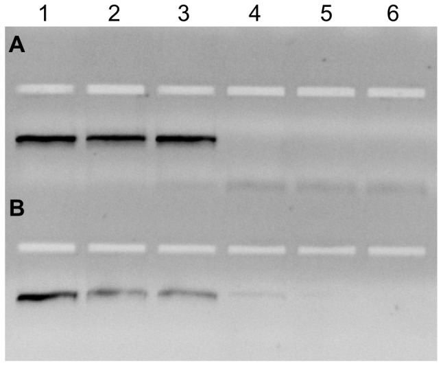 HLA-PCR SBT with R660V and AmpliTaq Gold. PCR amplification of six DNAs using either KlenTaq R660V (A) or AmpliTaq Gold (B). The HLA-DRB1 profiles of the genomic DNA are: lane 1: HLA-DRB1* 13∶01∶01, 13∶02∶01; lane 2: HLA-DRB1* 03∶01∶01, 11∶01∶01; lane 3: HLA-DRB1 01∶01∶01, 13∶01∶01; lane 4: HLA-DRB1* 08∶01∶03, 08∶01∶03; lane 5: HLA-DRB1* 01∶01∶01, 07∶01∶01; lane 6: HLA-DRB1* 07∶01∶01, 15∶01∶01.