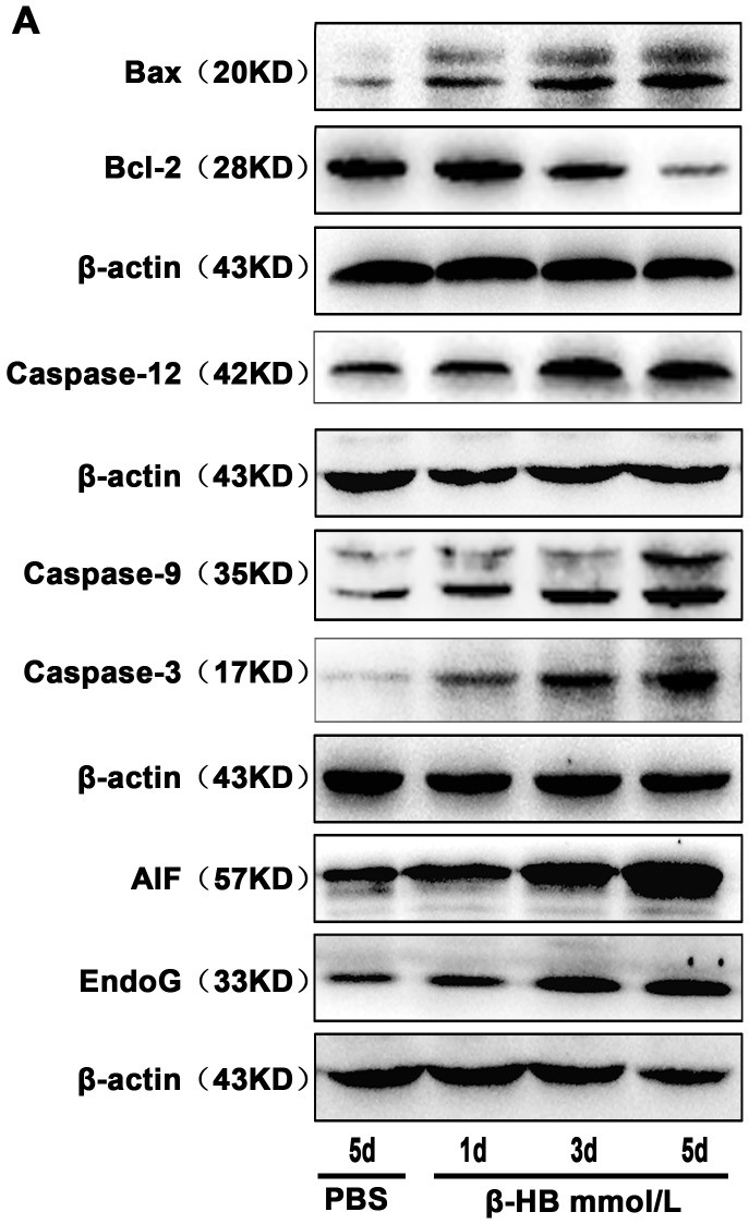 Effects of β-HB on the expression of apoptosis proteins in vivo . Mice were intraperitoneally given β-HB or PBS (control). Cleaved caspase-12, - 9, - 3, Bax, Bcl-2, AIF and EndoG protein were detected by Western blot.
