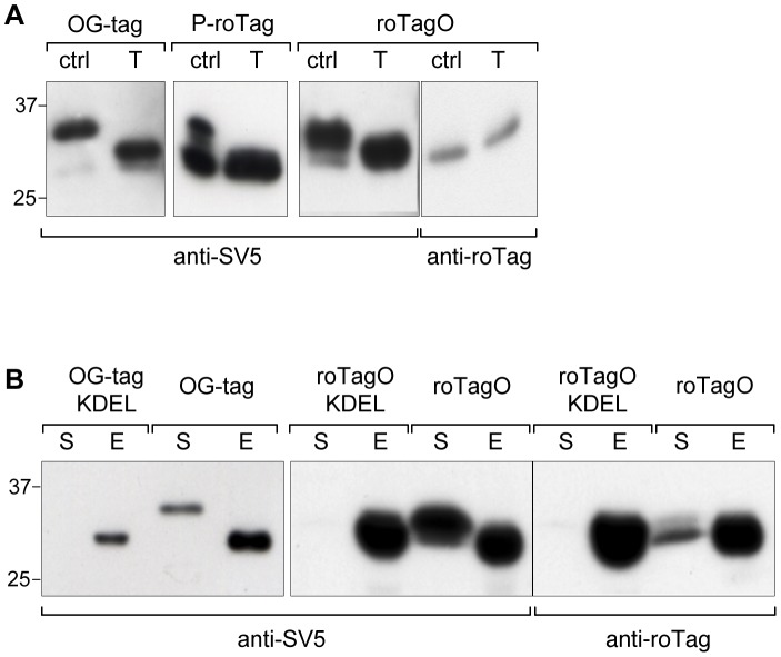 O-glycosylated tags. (A) WB of supernatants of 293T cells transfected with the reporter protein tagged with OG-tag, P-roTag or roTagO (previously indicated as 9–18, 11–21 and 9–21, respectively) treated (T) or not (Ctrl) with a glycosidase mix containing Neuraminidase, β1-3 Galactosidase and β-NAc-hexosaminidase. (B) WB of cellular extracts (E) and supernatants (S) of HEK 293T cells transfected with the reporter protein tagged with OG-tag and roTagO with or without the ER retention signal KDEL. In all panels blots were developed, as indicated, with anti-SV5 or anti-roTag/1F2.