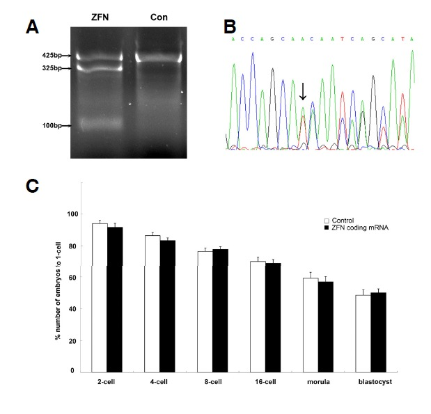 ZFN-mediated disruption of myostatin gene in porcine PA embryos. (A) T7E1 assay of ZFN cleavage in porcine PA embryos. The 425 bp PCR amplicon of myostatin gene is cleaved into ∼325 bp and ∼100 bp fragments. ZFN, the embryo mutant after ZFN coding mRNA treated; Con, the embryo treated with nonsense mRNA. (B) DNA sequencing diagram of an embryo mutant. The diagram of sequence reveals a double curve around ZFNs binding site. Arrow indicated mutant point. (C) Effect on development of PA embryos after microinjected with ZFN-coding mRNA in 1-cell. After injected with ZFN-coding mRNA in 1-cell, the developmental rate of embryos from 2-cell to blastula was shown. There was no significant difference between control and ZFN-treated group (p > 0.05).