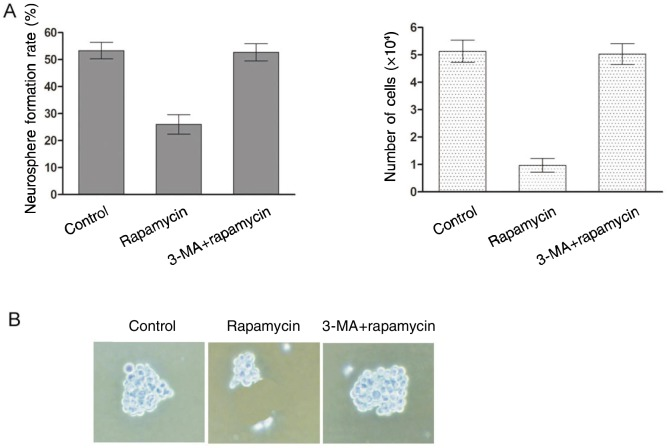 Effect of rapamycin on GSPC self-renewal. A, rapamycin attenuated the efficiency of neurosphere formation of GSPCs. The percentage of neurosphere-forming cells and the total number of cells were determined. B, representative images of SU-2 neurospheres treated as indicated. The neurosphere is significantly smaller in the rapamycin group than in control group and 3-MA plus rapamycin group, suggesting that rapamycin reduced the self-renewal ability of GSPCs and that 3-MA blocked this effect.