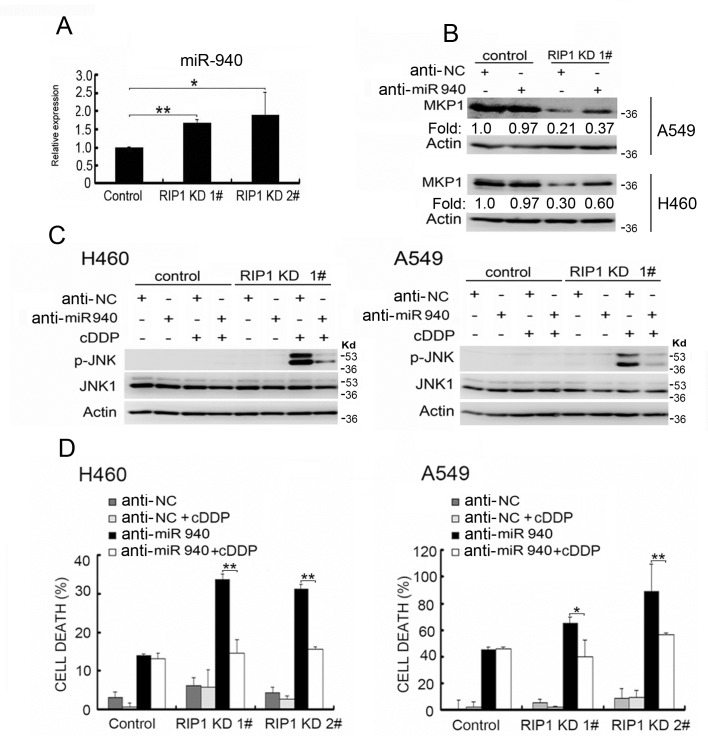 Increased miR-940 expression is involved in MKP1 suppression in RIP1 knockdown cells (A) Total RNA isolated from A549 cells (control and RIP1 knockdown) was used for detection of miR-940 with qPCR. (B) The cells were transfected with negative control or miR-940 miScript miRNA inhibitor for 48 h, MKP1 expression was detected with Western blot, and β-actin was detected as an input control. The intensity of the individual bands was quantified by Quantity One® Software and normalized to the corresponding input control (β-actin) bands. (C) The cells were transfected with the indicated miRNA inhibitor (10 nM) for 24h, and treated with cisplatin (20 μM) for 8 h. JNK1 and phospho-JNK1 were detected with Western blot. β-actin was detected as an input control. (D) The cells transfected with negative control or miR-940 inhibitor (10nM) for 24h, then the cells were left untreated or treated with cisplatin (20 μM) for an additional 48 h. Cell death was detected with LDH assay. Data shown are the mean±SD. *p