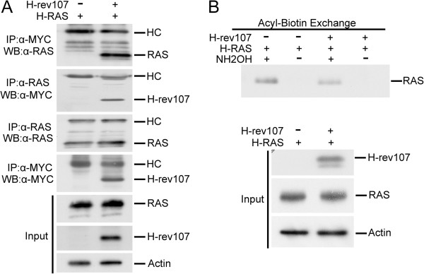 H-rev107 was associated with <t>H-RAS</t> and inhibited its palmitoylation. (A) HtTA cells plated in a 10-cm dish were transfected for 24 h with 0.1 μg of H-RAS along with <t>H-rev107-myc</t> or the control vector. Cell lysates were prepared as described in Methods. The interaction between H-rev107 and RAS was analyzed by immunoprecipitation followed by Western blot analysis. (B) HtTA cells plated in a 10-cm dish were transfected for 24 h with 0.1 μg of H-RAS along with 3 μg of H-rev107-myc or the control vector. Cell lysates were prepared, and acyl-biotin exchange analysis of H-RAS was performed as described in Methods. Aliquots containing 5 μg of protein including acylated RAS were biotinylated and then processed with streptavidin agarose resin followed by Western blot analysis. The input consisted of 300 ng of protein from the acyl-biotin exchange that was loaded. HC: heavy chain; NH 2 OH: hydroxylamine.