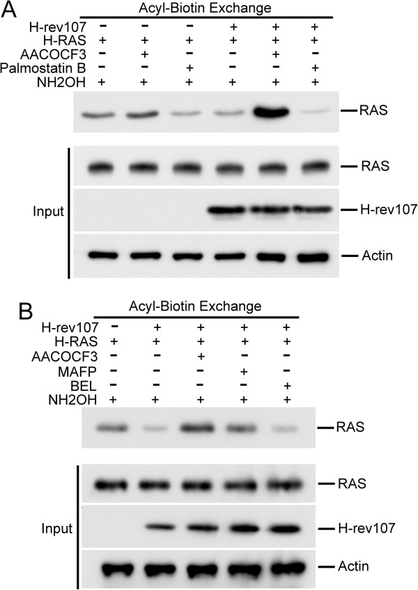 AACOCF3 and MAFP eliminated H-rev107-mediated H-RAS palmitoylation. HtTA cells plated in a 10-cm dish were transfected for 24 h with 0.1 μg of H-RAS along with H-rev107-myc or the control vector in the presence of 10 μM AACOCF3 (A, B) , 1 μM palmostatin B (A) , 5 μM MAFP (B) , 2 μM BEL (B) or DMSO vehicle. Cell lysates were prepared, and acyl-biotin exchange analysis of H-RAS was performed as described in Methods. Levels of H-RAS and H-rev107 in the cell lysates are shown in the bottom panel. NH 2 OH: hydroxylamine.