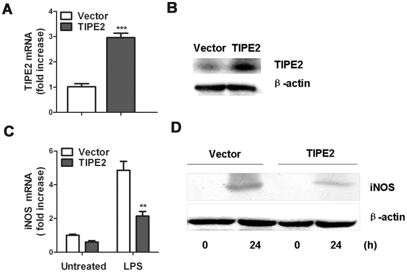 Effect of TIPE2 Overexpression on LPS-induced iNOS expression. RAW264.7 cells were stably transfected with TIPE2 plasmid or vector control. TIPE2 expression levels were determined by quantitative RT-PCR ( A ) and Western blot ( B ), respectively. For quantitative PCR, the results were presented as folds expression of TIPE2 RNA to that of β-actin. TIPE2 overexpression RAW264.7 cells or control cells were treated with 100 ng/mL LPS for 24 h, and iNOS mRNA ( C ) and protein ( D ) levels were detected by quantitative PCR and Western blot, respectively. Data are shown as mean ±SE of one representative experiment. ** P