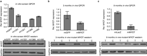miMYOT mediates silencing of human <t>myotilin</t> in vitro and in vivo . ( a ) Four different MYOT-targeted artificial miRNAs (mi1291, mi1321, mi1366, and mi1490) were generated and tested for their ability to stimulate human MYOT gene silencing in HEK293 cells. Data shown are representative of three independent experiments. The lead miMYOT construct, mi1321, stimulated an 81 and 62% knockdown of MYOT mRNA (top, real-time PCR) and protein (bottom, western blot), respectively. Gene silencing data are calculated relative to samples transfected with a control miRNA targeting eGFP (miGFP). 22 Individual samples were normalized to GAPDH. The mi1321 construct is referred to as miMYOT in all subsequent figures. ( b,c ), AAV6-delivery of the U6.miMYOT construct to <t>TgT57I</t> mouse gastrocnemius muscle reduced mutant MYOT expression in 3- and 9-month-old animals, compared to AAV6-treated miGFP or miLacZ 29 controls, respectively. Specifically, by 3 months, MYOT mRNA and protein was reduced 50 and 54% and at 9 months, these values were 79 and 63%, respectively. For both timepoints, N = 8 animals, with one leg receiving AAV.miMYOT and the other a control miRNA vector. QPCR data represents means ± SEM. Western blots show three representative samples. C, control-treated legs; T, miMYOT-treated legs.
