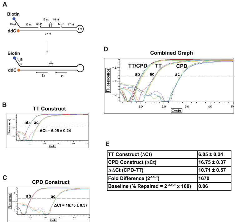 Design of ORA oligonucleotide construct for NER. (A) Construction of the ORA oligonucleotide that contains a CPD lesion. The 30-nt synthetic ssDNA fragment containing a CPD lesion (marked as a T-T dimer) was hybridized with a 5′-biotinylated (49 nt) and a 3′-ddC protected (98 nt) fragment to form a hairpin dsDNA construct after ligation. The resulting construct contains a central 77-bp dsDNA region with a 19-nt ssDNA in the 5′-terminal region and a 4-nt hairpin at the end of the 3′ arm. The CPD residue locates approximately at the center of the dsDNA stretch, 33 bp from the 3′ end and 42 bp from the 5′ end of the dsDNA region. Including the 19-nt ssDNA sequence, the 5′ arm of the CPD-containing construct is 61 nt/bp in length. Primers for <t>qPCR</t> quantification are shown in arrow lines, where amplification by primers a/b represents the total amount of the oligonucleotide and by a/c the amount of the repaired oligonucleotides. The percentages of oligonucleotide repaired were calculated by the following equation: % Repaired = (2 −ΔCt ) × 100, ΔCt = Ct Control (a/b) − Ct Test (a/c) . (B–E) Calibration of CPD-containing oligonucleotide constructs. qPCR was carried out using 1 μl of 5 nM ligated normal TT- (B) or CPD-containing construct (C) as template. PCR amplifications with primers a and b serve as the internal control for the total number of substrate molecules, whereas amplifications with primers a and c quantify the amount of the repaired products. Based on the ΔCt value (ac-ab) of the TT construct, the ligation efficiency (% ligation = 1/2 ΔCt × 100) was 1.5% (B). Since CPD adducts block the activity of Taq polymerase (C), the ΔCt value (ac-ab) of the CPD construct is greater than that of the normal TT control (D), yielding a ΔΔCt value (CPD-TT) of 10.71 that converts to a 1,670-fold blockage by CPD (Fold Difference = 2 ΔΔCt ) (E). Using this 2 ΔΔCt method, we were able to obtain differential repair efficiencies of the CPD construct in cells with altered gene