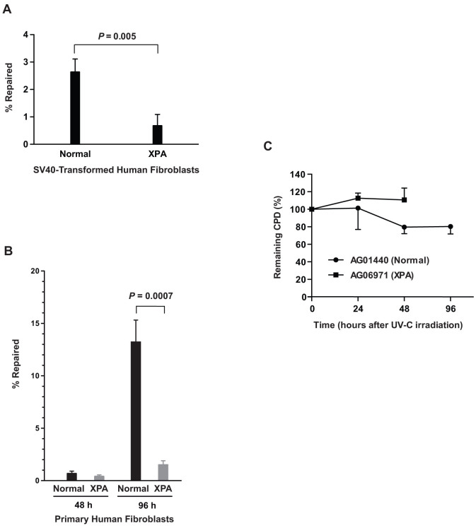 NER deficiency in human XPA fibroblasts validated by ORA. (A) NER efficiencies of human SV40-transformed, normal (GM00637) versus XPA (GM04429) fibroblast cells. Cells were transfected with CPD-containing oligonucleotides. After 48 h incubation at 37°C, nuclei were isolated and oligonucleotides were retrieved from the purified nuclei for quantification. Data are presented as mean ± S.D. (n = 3) and the P value was calculated by Student's t -test. (B) NER efficiencies of human primary fibroblasts. Human primary fibroblast cells, normal (AG01440) versus XPA (AG06971), were transfected with CPD-containing oligonucleotide and incubated at 37°C for 48 h and 96 h prior to retrieval. Data derived from qPCR analyses of the retrieved oligonucleotides from three independent experiments are presented as % repaired of the CPD-containing constructs per cell (mean ± S.D., n = 3). The P value was obtained by Student's t -test. The absolute values likely reflect differences in kinetics of repair between primary and immortalized cells. (C) Validation of NER deficiencies by CPD-specific ELISA. After irradiating the cells with 25 J/m 2 of UV-C, CPD lesions were quantified by ELISA at 0 h, 24 h, 48 h and 96 h for the normal fibroblasts and only at 0 h, 24 h and 48 h for the XPA cells since XPA fibroblasts were dying at 96 h. The results are shown as % of remaining CPD relative to 0 h after irradiation and data are presented as mean ± S.D. (n = 3).