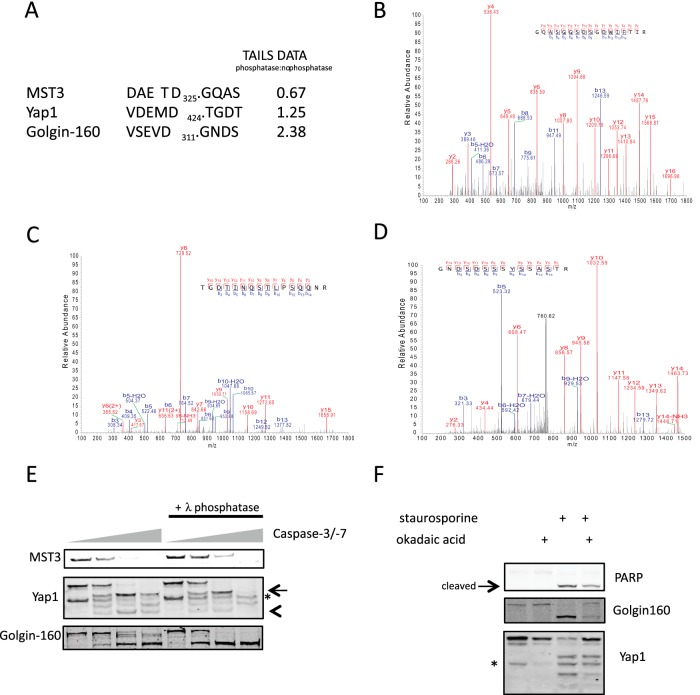 """TAILS analysis revealed MST3, Golgin-160, and Yap1 as validated candidates in which cleavage is regulated by phosphorylation. A , caspase recognition motif in MST3, Yap1, and Golgin-160. MS/MS analysis of MST3 ( B ), Yap1 ( C ), and Golgin-160 ( D ). E , HeLa lysates were treated identically to those samples prepared for N-terminomic analysis (as described in """"Experimental Procedures""""), except when they were utilized for Western blotting with antibodies directed against MST3, Yap1, or Golgin-160 as indicated. Caspase-3 and caspase-7 were used at concentrations of 0, 50, 500, and 5000 n m . The asterisk denotes a nonspecific band, and the arrow and arrowhead bands were differentially regulated by lysate dephosphorylation. F , HeLa cells were treated for 3 h with 1 μ m staurosporine and/or 500 n m okadaic acid prior to lysis. Lysates were analyzed using immunoblots with the indicated antibodies. PARP1 cleavage was used as a control for caspase activation. The asterisk denotes a nonspecific band."""