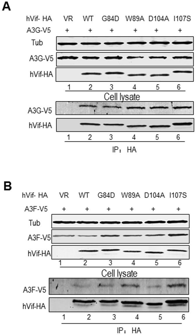 Vif mutants maintain interactions with A3G and A3F. HEK293T cells were transfected with the vector control, WT or a Vif mutant plus A3G-V5 (A) or A3F-V5 (B). Cells were treated with 10 µM MG132 12 h prior to harvesting, and then Vif-HA was immunoprecipitated from cell lysates with an anti-HA antibody conjugated to agarose beads. The interaction of Vif-HA with A3G-V5 or A3F-V5 was detected by immunoblotting using antibodies against Vif-HA and A3G-V5 or A3F-V5.