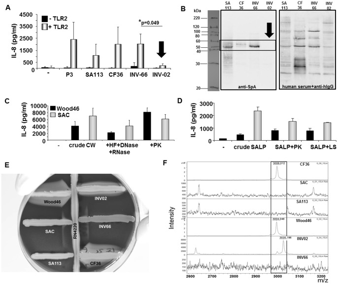 Protein A expression correlates with TLR2-activity. A: Comparison of TLR2-induced IL-8 secretion levels after stimulation of HEK293 cells transfected with 200 ng/well of pTLR2 with SA113, clinical S. aureus isolates (CF36, INV66, INV02), 1 µg/ml Pam 3 CSK 4 (P3) or when left unstimulated ( − ). B: Comparison of SpA expression in SA113 and clinical S. aureus isolates (CF36, INV66, INV02). Left: Western blot analysis of SpA expression in bacterial lysates using anti-SpA mAb and anti-murine IgG-HRP. Right: Control blot incubated with human serum and biotinylated anti-human IgG-+ streptavidin-HRP to visualize protein loading. One representative experiment of n ≥ 3 experiments is shown. C+D: Stimulation of TLR2-transfected HEK293 cells with 5 µg/ml cell wall (CW; C ) or lipoprotein preparations (SALP; D ) prepared from S. aureus strains Cowan I (SAC; SpA high , grey bars) or Wood46 (SpA low , black bars). As indicated crude CW (left) were treated with hydrofluoric acid (HF) and RNAse A and DNAse I (middle) followed by digestion with proteinase K (PK, right). SALP were treated with proteinase K (PK, left) or lysostaphin (LS, right). ( − ) refers to unstimulated cells. The experiments shown were performed in triplicates and show mean values ± SEM of IL-8 concentrations determined in the supernatants. They are representative of n = 2 independent experiments. E+F: Analysis of agr activity. E: Hemolysin production. Strains to be tested for hemolysin production were cross-streaked to RN4220, which produces β-hemolysin. After incubation for 36 hours strains were analyzed following the description by Taber et al. [15] : Wood46 and CF36 displayed the typical pattern for α- and δ-hemolysin expression, INV02 produced α-, β- and δ-hemolysins, SAC (Cowan I) and INV66 expressed only low amounts of δ-hemolysin and SA113 was negative for α-, β- and δ-hemolysins. In conclusion, SA113, SAC and INV66 were categorized as agr -, Wood46, CF36 and INV02 were typed as agr +. F: Analysis of δ-to