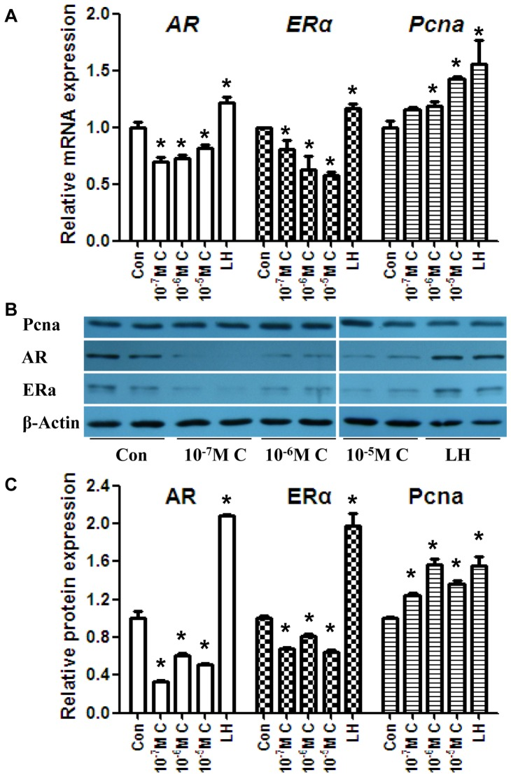 Effects of CYP-treatment on AR, <t>Erα,</t> and <t>Pcna</t> in mLTC-1cells. (A) The mRNA levels of AR , ERα , and Pcna in mLTC-1 cells. (B) The protein levels of AR, Erα, and Pcna in mLTC-1 cells. (C) Quantitative analysis of scanning densitometry of protein levels from (B). The mRNA and protein levels of AR were downregulated after CYP treatment, which is consistent with the T levels. In contrast, the ERα mRNA and protein levels were upregulated. The Pcna mRNA and protein levels suggest that CYP treatment may promote the proliferation of Leydig cells. The data represent the mean ± SEM. * P