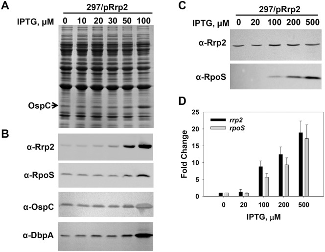 Up-regulation of Rrp2 in B. burgdorferi induces the expression of rpoS . Gene expression in OY159 was analyzed by SDS-PAGE (A), immunoblot (B, C), and <t>qRT-PCR</t> analyses (D). In (A) and (B), spirochetes grown in BSK-II media containing varying concentrations of IPTG were harvested when bacterial growth reached early stationary phase (∼10 8 cells per ml). In (C) and (D), spirochetes were grown in BSK-II medium. When bacterial growth reached mid-log phase (∼10 7 cells per ml), various amounts of IPTG were added into culture. Cells were collected at 9 h post-induction. In (A) and (C), concentrations of IPTG are indicated above the image. The arrow indicates OspC in (A). Specific antibodies, denoted as α- used in the immunoblot (B, C), are indicated on the left. In (D), data were collected from <t>three</t> independent experiments, and the bars represent the mean measurements ± standard deviation. The mean values between induced groups (100-, 200-, or 500 µM IPTG) and the uninduced group (0 µM IPTG) were compared using the Student's t test and are significantly different (p