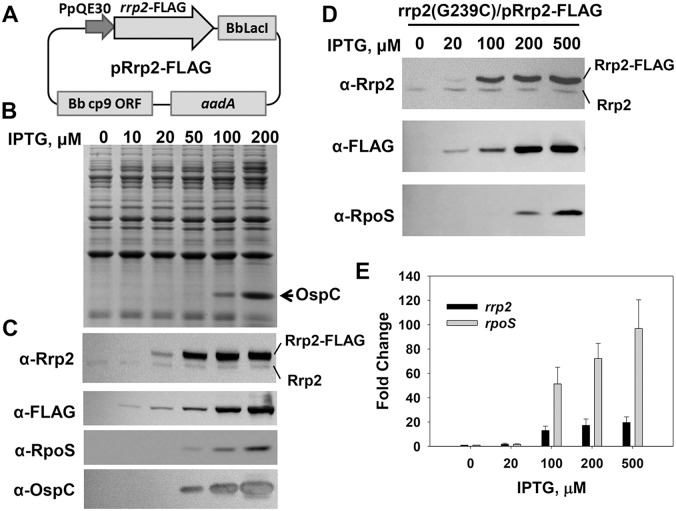 Gene expression in B. burgdorferi strain OY173. (A) Construction of an IPTG-inducible rrp2 -FLAG expression shuttle plasmid. The plasmid pRrp2-FLAG pRrp2 was introduced into strain OY01 ( rrp2 [G239C]), yielding OY173. SDS-PAGE (B), immunoblot (C, D), and qRT-PCR analyses (E) were performed to analyze gene expression. In (B) and (C), spirochetes grown in BSK-II medium containing varying concentrations of IPTG were harvested when bacterial growth reached early stationary phase (∼10 8 cells per ml). In (D) and (E), spirochetes were grown in BSK-II medium. When bacterial growth reached mid-log phase (∼10 7 cells per ml), various amounts of IPTG were added into culture. Cells were collected at 9 h post-induction. In (B) and (D), concentrations of IPTG are indicated above the image. The arrow indicates OspC in (B). Specific antibodies, denoted as α- used in the immunoblot (C, D), are indicated on the left. In (E), the bars represent the mean measurements ± standard deviation. The mean values between induced groups (100-, 200-, or 500 µM IPTG) and the uninduced group (0 µM IPTG) were compared using the Student's t test and are significantly different (p