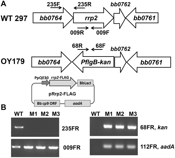Generation of an rrp2 conditional lethal mutant in B. burgdorferi . (A) Schematic representation of the bb0764 – bb0761 genes in the B. burgdorferi chromosome and the insertion of PflgB-kan cassette into rrp2 by homologous recombination. Arrows indicate the approximate positions of the oligonucleotide primers used for subsequent analyses. (B) Analyses of the wild-type 297 and the rrp2 conditional lethal mutant OY179 by PCR. The specific primer pairs are indicated on the right. Lanes WT, 297; lanes M1, M2, and M3, three clones of OY179.