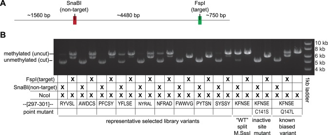 Methylation assay for selected variants. (A) Relative locations of the target site and non-target site on a plasmid linearized by <t>NcoI</t> digestion. For sequences of the target and non-target sites, refer to Figures 1C and D (B) The restriction endonuclease protection assay for methylation at the target and non-target site uses digestion with NcoI to linearize the plasmid and either <t>FspI</t> or SnaBI to assess the target and off-target methylation, respectively. FspI and SnaBI cannot digest a methylated site. Shown are results from select variants as well as the 'wildtype' heterodimeric enzyme (i.e. no mutations to residues 297–301) with or without a catalytically inactivating (C141S), or a catalytically compromised (Q147L) mutation.