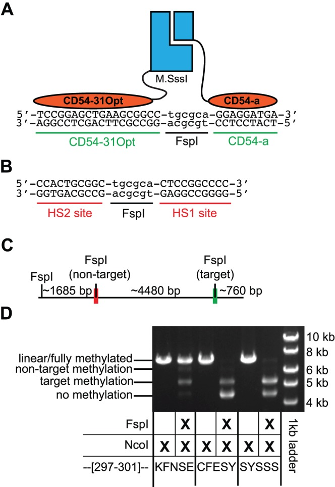 Substitution of new zinc fingers targets methylation towards a new site. ( A ) A schematic of the designed methyltransferase is shown assembled over the new, targeted CpG site. New cognate zinc finger recognition sequences flank a CpG site nested within an FspI site. Zinc fingers CD54-31Opt and CD54a have replaced the HS1 and HS2 zinc fingers. ( B ) The non-target site contains the HS1 and HS2 zinc finger recognition sites flanking a CpG site nested within a FspI restriction site (i.e. this was the target site in experiments in Figure 2 ). ( C ) The relative locations of the target site and non-target site are shown on a plasmid linearized by NcoI digestion. ( D ) The restriction endonuclease protection assay for methylation at the target and non-target site for the 'wildtype' heterodimeric enzyme (KFNSE) and two selected variants with mutations in the region 297–301.