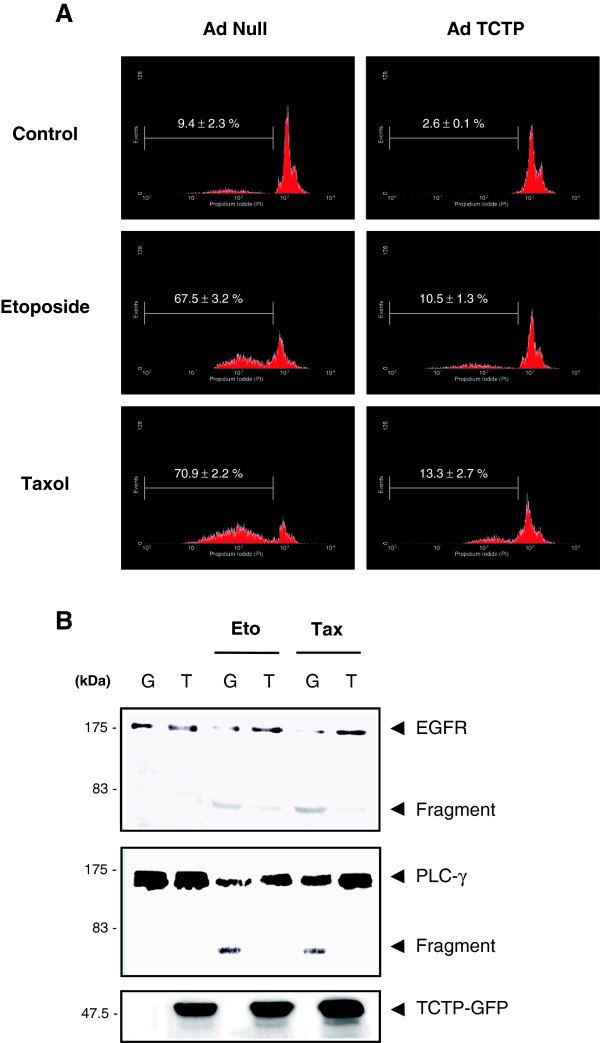 TCTP inhibits anticancer drug-induced cell death and cleavage of EGFR and PLC-γ in HeLa cells. (A) TCTP-induced inhibition of cytotoxic drug-induced cell death. AdNull- and adTCTP-infected HeLa cells (MOI, 10) were incubated with 20 μM etoposide or 0.1 μM taxol and then DNA fragmentation was analyzed using PI staining and FACS as described in Materials and Methods. (B) TCTP-induced inhibition of cytotoxic drug-induced EGFR and PLC-γ fragmentation. After treatment of 20 μM etoposide or 0.1 μM taxol, adGFP (G)- and adTCTP-GFP (T)-infected HeLa cell (MOI, 10) extracts were blotted with anti-EGFR, -PLC- γ, and -GFP antibodies.