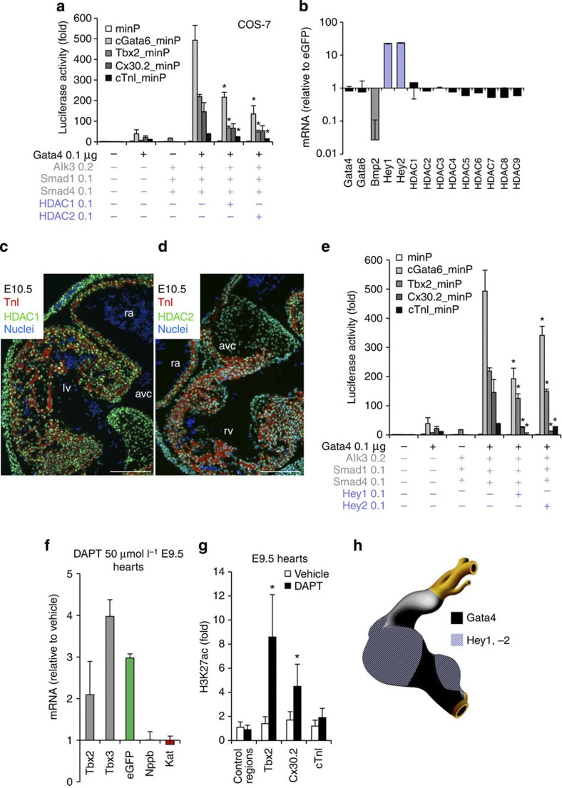 The Gata4/Hey/Hdac complex induces H3K27 deacetylation and AV canal gene repression. ( a ) Luciferase reporter assays on 102 bp cGata6 , the 380 bp Tbx2 , 660 bp Cx30.2 and the 356 bp cTnI genomic fragments. Constructs were co-transfected with Gata4, Alk3CA, Smad1 and Smad4, HDAC1 and 2 expression vectors into Cos-7 cells (mean±s.e.m., n =6, * P